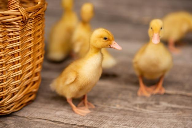 Yellow ducklings running on the wooden floor of the backyard veranda in the village