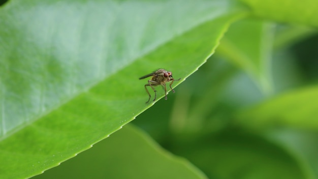 Yellow dung fly or golden dung fly