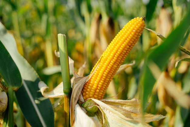 Yellow ear of corn in the field