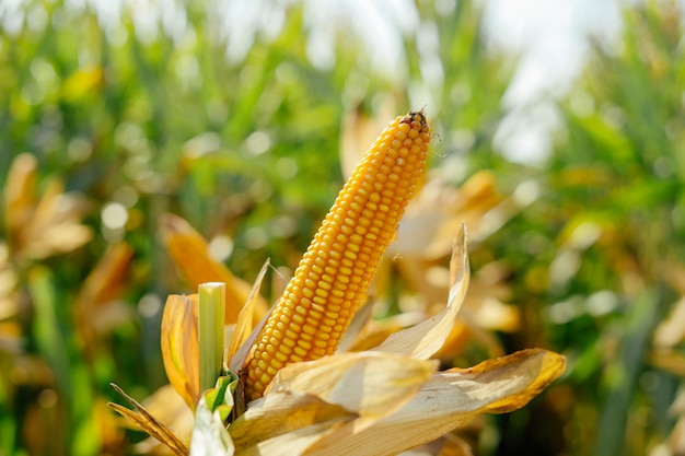 Yellow ear of corn in the field