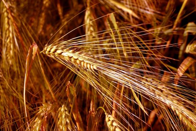 Yellow ears of corn in the field.