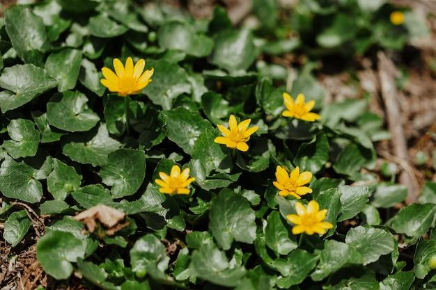 黄色いエラニス。春の花