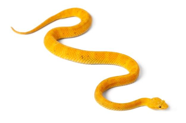 Желтая ресничная гадюка - bothriechis schlegelii, ядовитая, на белом фоне