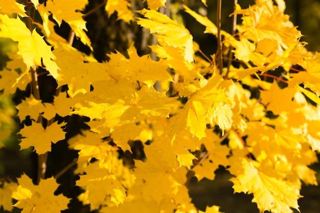 Желтые кленовые листья падения, освещенные солнцем естественным фоном.