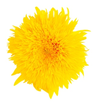 Yellow fall sunflower isolated on white background