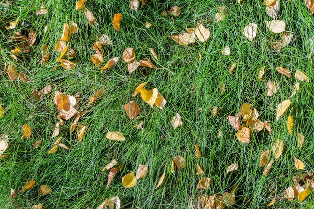 Yellow fallen birch leaves lie on the green grass. as a natural background.