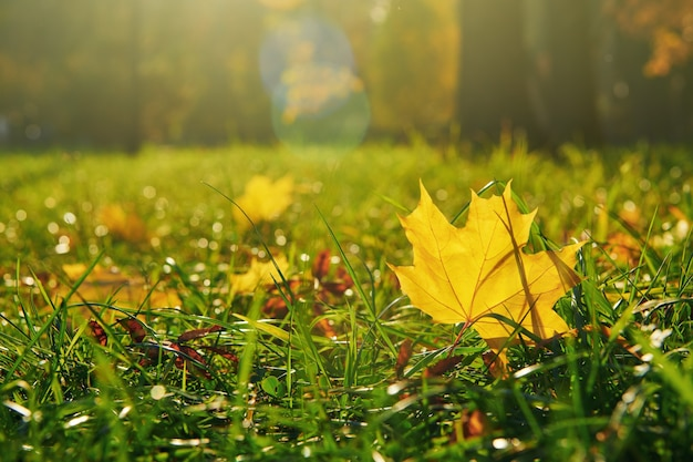 노란 낙엽이 땅에 떨어져 있습니다. 황금빛과 아름다운 가을. 가을 시즌. 보기를 닫습니다.
