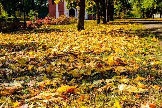 黄色の落ちたカエデの葉が秋の公園に