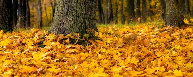 Желтые опавшие кленовые листья в лесу возле стволов деревьев, осенний фон