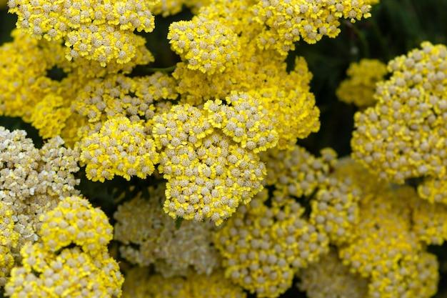 Желтый лист папоротника тысячелистник achillea filipendulina цветет летом