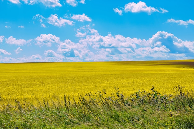 Yellow field and blue sky in summer day. magical panoramic landscape place