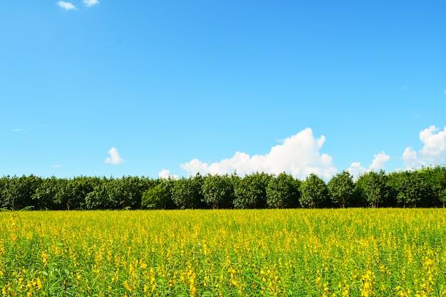 Yellow field blue sky with tree background beautiful landscape spring flower sunhemp field