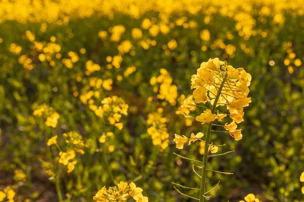 Желтое поле рапса вечером Premium Фотографии