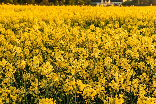 夕方の菜種の黄色い畑