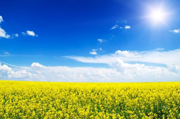 Желтое поле рапса в цвету