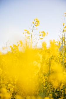 Yellow field at sunset