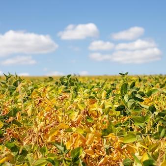 Желтое поле с спелой сои. продукты питания для вегетарианцев и веганов. облака над полем с зеленой сои.