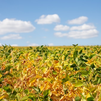 Yellow field with ripe soy. food products for vegetarians and vegans. clouds over the field with green soybean.