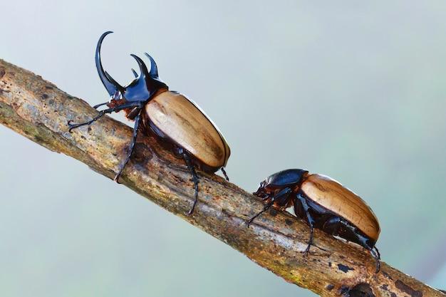 Yellow five-horned beetle (eupatorus gracilicornis), beetle in nature