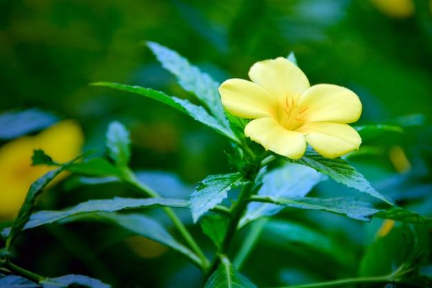 정원에서 노란 꽃입니다. 열대 식물. 비가 온 후 꽃이 만발한 황금 트럼펫 덩굴