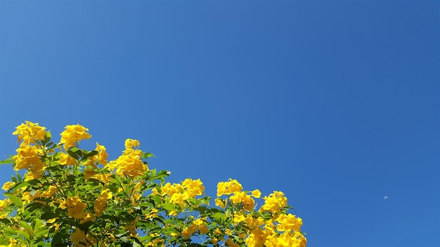 Yellow flower and clear blue sky
