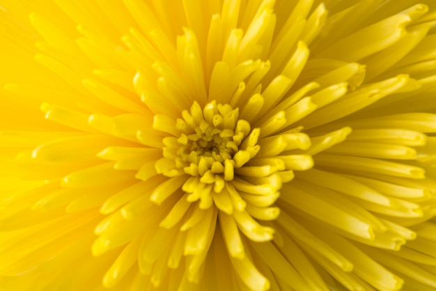 Yellow flower closeup as background