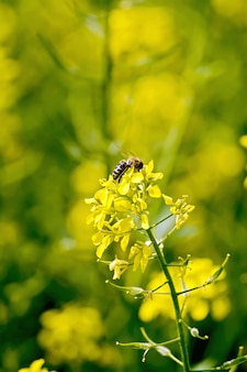 Yellow flower of colza with bee on a yellow background field