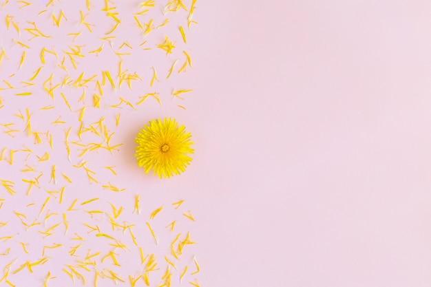 花びらが付いている黄色い花のタンポポはコピースペースが付いているピンクの上に平らに置きます