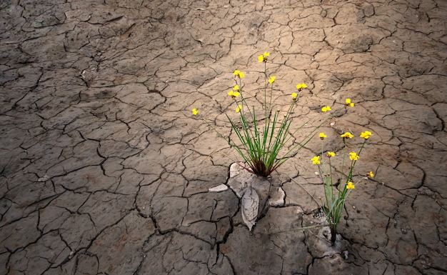 Yellow flower growing on dried cracked soil , selective focus