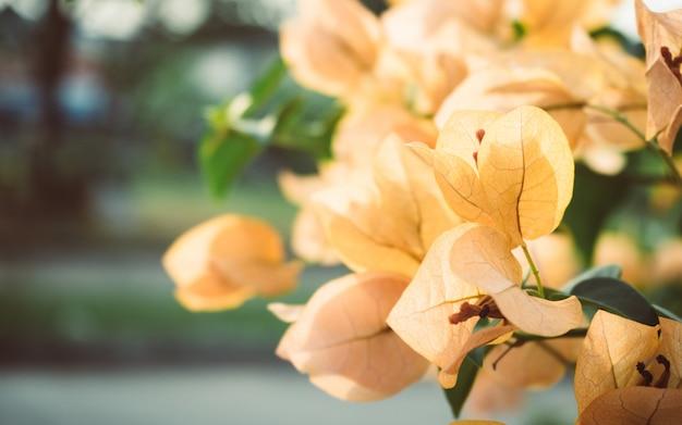 화창한 날에 노란 꽃입니다. 아름다운 부겐빌레아 (bougainvillea glabra) 꽃