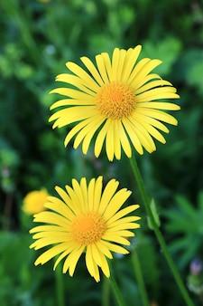 정원 봄 배경에 노란 꽃