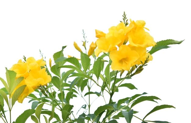 白い背景で隔離の黄色い花