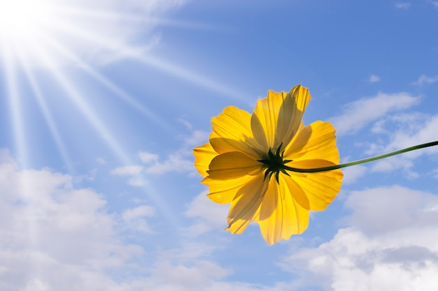 Yellow flower mexican diasy or cosmos on blue sky background.