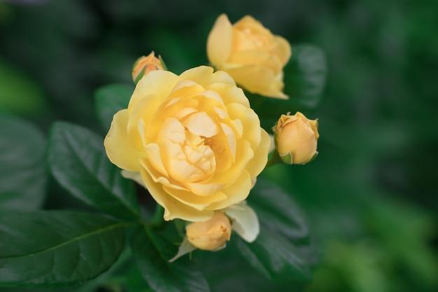 Желтый цветок из сорта роз девтд остин с тремя бутонами на кусте летом в саду.