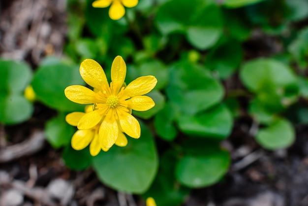 暖かい春の黄色い太陽の下で緑の草の上にキンポウゲの春ficariavernaの黄色い花