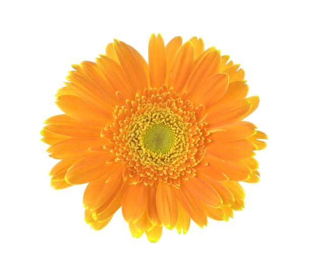 흰색 표면에 고립 된 거 버의 노란 꽃