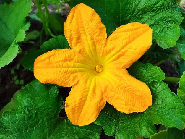 有機性庭のズッキーニまたはズッキーニの黄色い花
