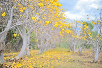 Yellow flower trees