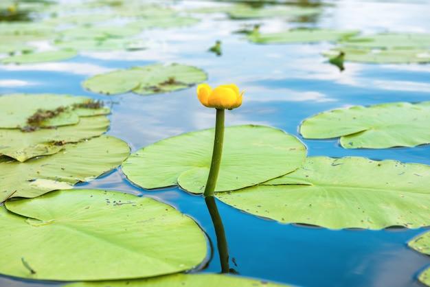 池の黄色い花-スイレン