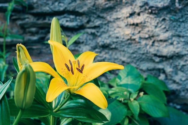 黄色い花のユリ植物。リリウムsp。上面図。