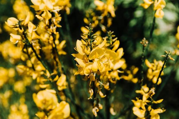 Un ramo di ginestra in fiore giallo
