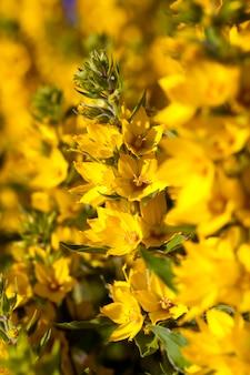 Желтый цветущий куст летом, декоративный куст, покрытый желтыми цветами