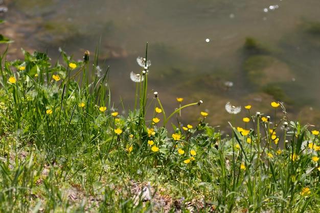 Желтые цветы и зеленая трава на берегу реки в летний день