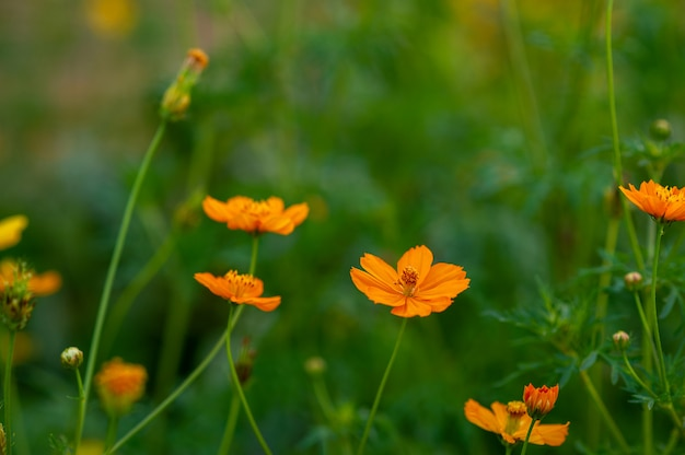 Yellow flowers in a beautiful flower garden, close-up with bokeh