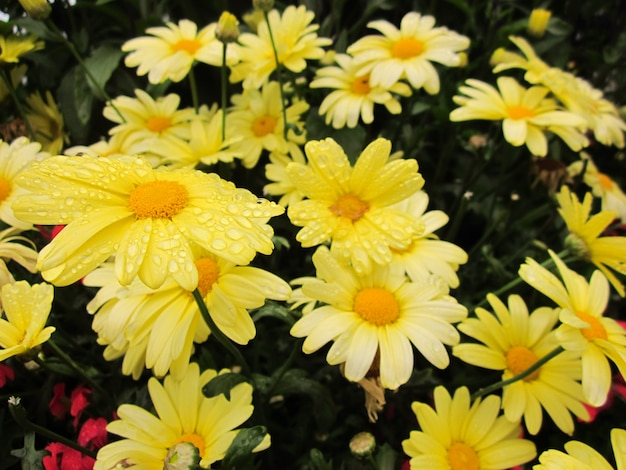 Yellow flowers bloom in the garden with water drops on petals.