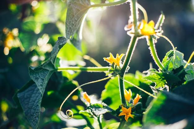庭の緑の葉のキュウリの黄色い花の花