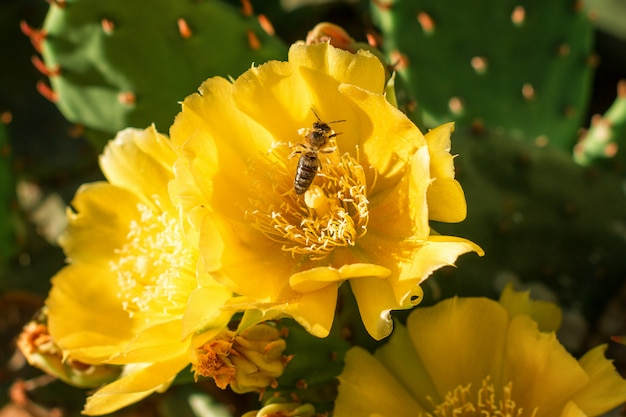 Yellow flowers on a cactus are blooming bright color