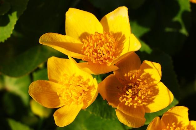 Yellow flowers caltha palustris close-up