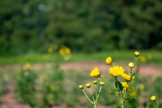 Yellow flowers or chrysanthemum in gaden.