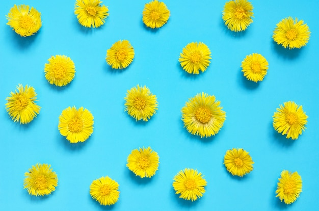 Yellow flowers of coltsfoot on blue background. (tussilago farfara). medical plant.